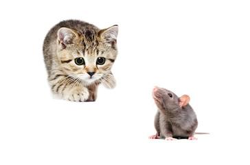 Little kitten Scottish Straight hunts gray rat, isolated on white background