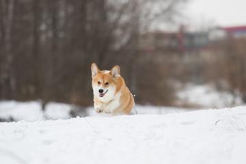 welsh corgi dog in winter