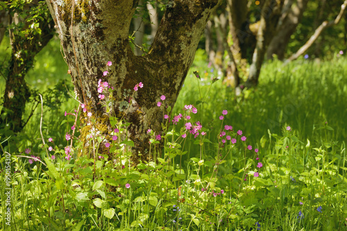 Sea pinks amonst green woodland pembrokeshire wales stock photo and sea pinks amonst green woodland pembrokeshire wales mightylinksfo