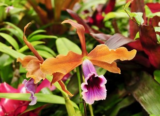 Colorful orange and purple Cattleya orchid flower