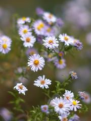 Magenta asters flowerbed.
