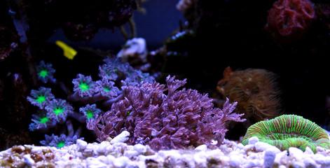 Clavularia Glove polyps coral