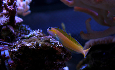 Midas blenny in saltwater reef aquarium