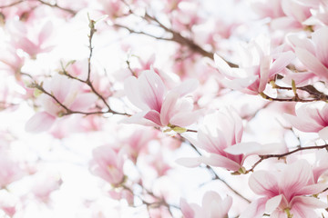 Photo sur Aluminium Magnolia Closeup of magnolia blossoms with blurred background and warm sunshine