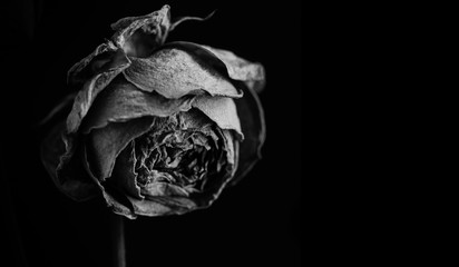 Rose in the dark. Black and white