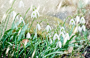 Snowdrops in the Garden in the Snowfall
