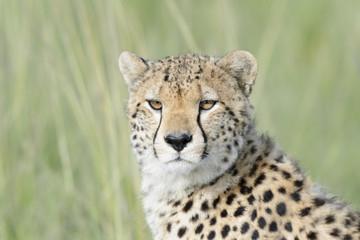 Cheetah (Acinonix jubatus) portrait, close up, Masai Mara, Kenya
