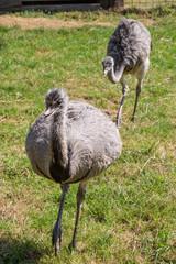 großer afrikanischer Strauß und Portrait von Emu