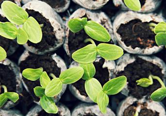 Seedling Plant Vegetables