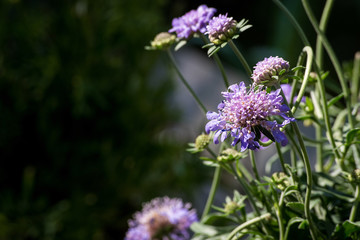 group of spring blue and purple flowers on long stalks against bokeh blurred background outdoors