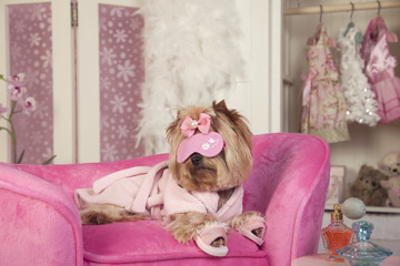 Yorkshire terrier in full glamour and luxury with eye mask, robe and slippers at the spa