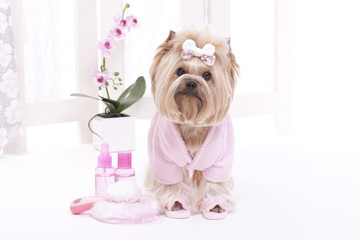 Yorkshire terrier in a pink bath robe and slippers ready for her massage at the spa