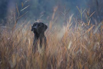 Schwarzer Hund in hohe Gras Fotoväggar