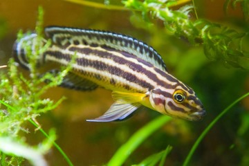 Julidochromis ornatus young male of freshwater fish from lake Tanganyika in aquarium