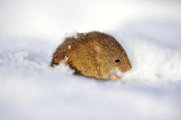 Maus im Schnee