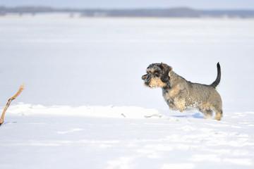 Rauhaarteckel im Schnee