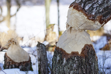 Tree in winter forest after beaver's attack. Was seen on island of Baltezers lake, Latvia.