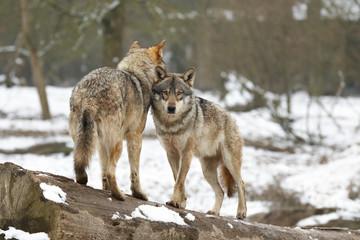Loups blancs en hiver