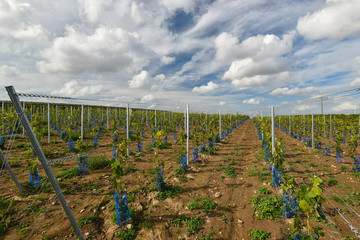 Recently planted vineyard in autumn