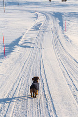 A beautiful brown dachshund walking in a snow with knitted sweater. Pet walk in the winter. Norwegian winter, pet enjoying sunny day.
