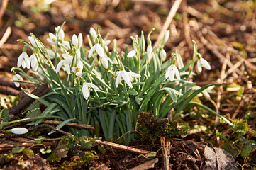 Snowdrop spring flowers. Delicate Snowdrop flower is one of the spring symbols telling us winter is leaving and we have warmer times ahead. Fresh green well complementing the white Snowdrop blossoms.