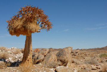 Kokerboom tree with bird nest in rocky landscape and blue african sky