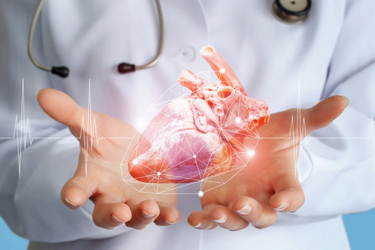 Doctor cardiologist shows a heart donor .