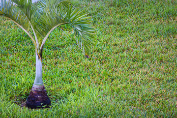 Young oil palm tree. Palm seedling on green lawn. Oil palm protection, reforestation. New life concept.