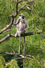 Mother and baby Gray Langur Semnopithecus priam on the tree