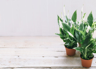 Spathiphyllum flower  white  wood background with empty place space for text.