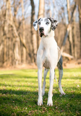 Portrait of a Harlequin Great Dane dog outdoors