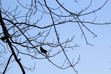 Silhouette of red wing black bird perched on branch