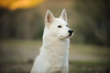 White Siberian Husky dog outdoor portrait