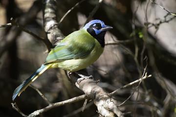 Green Jay at Laguna Atascosa National Wildlife Refuge in Texas