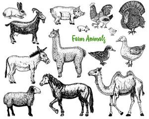 Farm Cute Animal big set. Vector illustration. Camel, horse, goat, pig, donkey, mountain sheep, llama or alpaca, turkey, cock. village pets. engraved sketch, hand drawn vintage style.