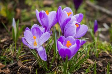 Spring crocus chrysanthus violet flowers