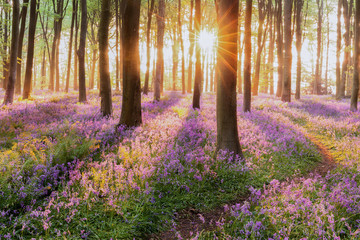 Beautiful woodland bluebell forest in spring. Purple and pink flowers under tree canopys with sunrise at dawn