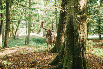Deer with branched horns stands on a hill in an autumn forest among trees.