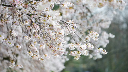 The Clusters of White Cherry Blossoms Bending The Branches Of the Flower Trees at University of Washington garden.  Photo taken at University of Washington, Seattle, United States