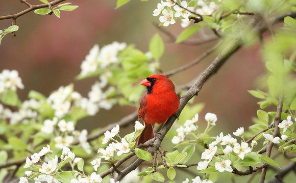Northern Cardinal among pear tree blossoms, Upstate New York, USA