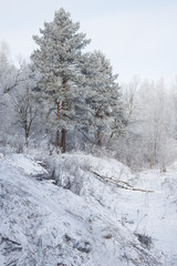 Snowy winter forest