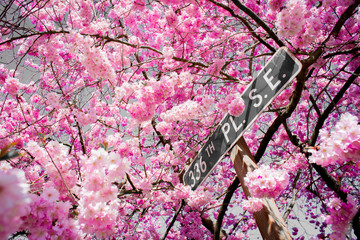 Road Sign Stand Among A Sea Of Bright Pink Spring Cherry Blossom On A Warm Sunny Afternoon In Fall City Washington