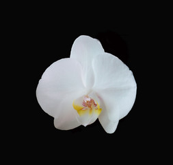 Dramatic white orchid flower on black background