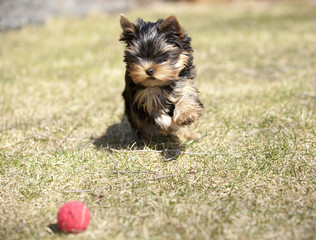 Yorkshire terrier playing and running in the grass after a ball