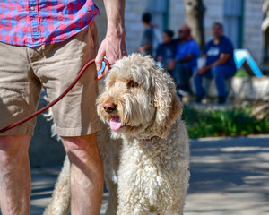 Gorgeous creme colored Golden Doodle out for a walk in the park