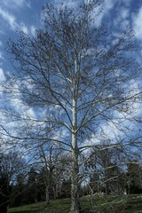 Large old Sycamore tree in the fall or winter. beautiful white bark agains a blue sky