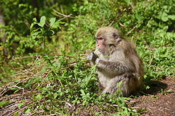 Monkey in Kamikochi national park, Kamikochi, Japan.