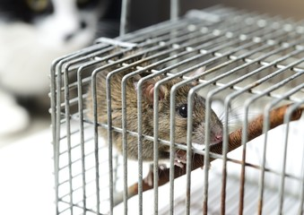 ネズミ捕りのネズミと興味を示す猫