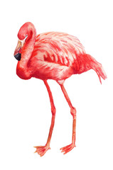 Watercolor image of flamingo