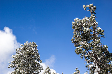 Snow Laden Trees On Clear Day